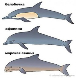 Дельфины — интеллигенты водной стихии