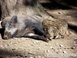 Дикие свиньи