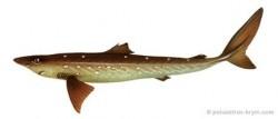 И Черное море не без акул