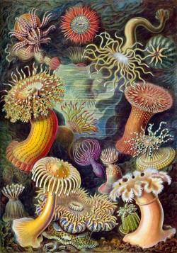 «Цветы» моря — актинии