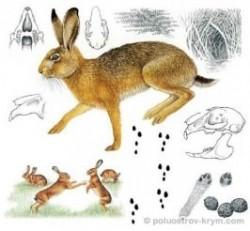 Заяц-русак из «семи пар нечистых»
