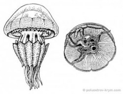 Про медуз