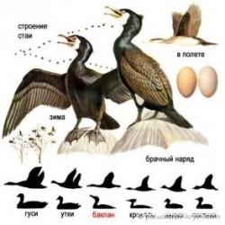 Морской ворон—баклан