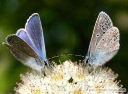 Живое пестроцветье голубянок